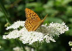 Silver-washed fritillary on hogweed